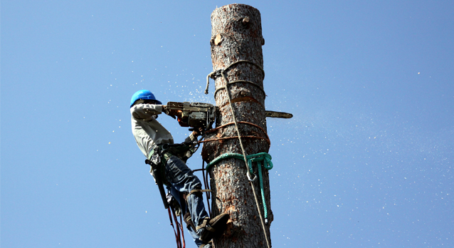 surrey_tree_surgeons_felling_2
