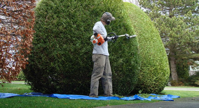 surrey_tree_surgeons_hedge_trimming