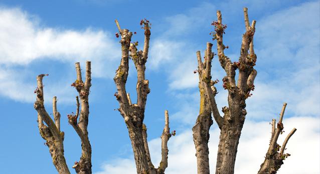 surrey_tree_surgeons_pollarding