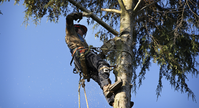 surrey_tree_surgeons_prunning