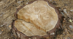 surrey_tree_surgeons_tree_stump